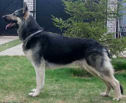 восточноевропейская овчарка, крупный (74 в холке...