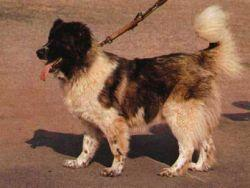 Кавказская овчарка.  Порода собак.