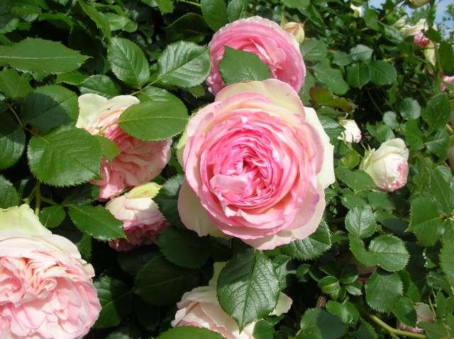 Quel est le nom de ce rosier - A quel moment tailler les rosiers ...