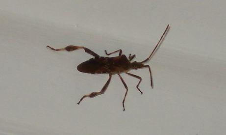 Identification insecte - Insecte dans les maisons ...