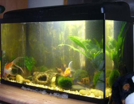 Aquarium pour poisson rouge for Alimentation poisson rouge adulte