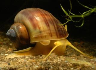 escargot les escargots d eau douce mangeurs d algues
