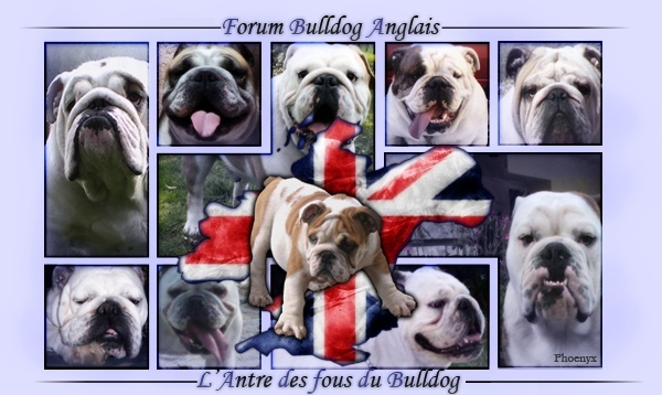 Forum Bulldog Anglais