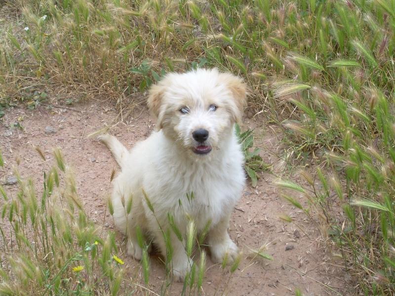 SAYAN griffon/husky de 15 mois des yeux bleus à craquer