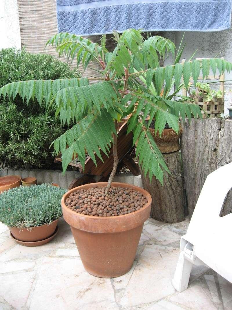 Arbre En Pot Terrasse sumac de virgine en pot - au jardin, forum de jardinage