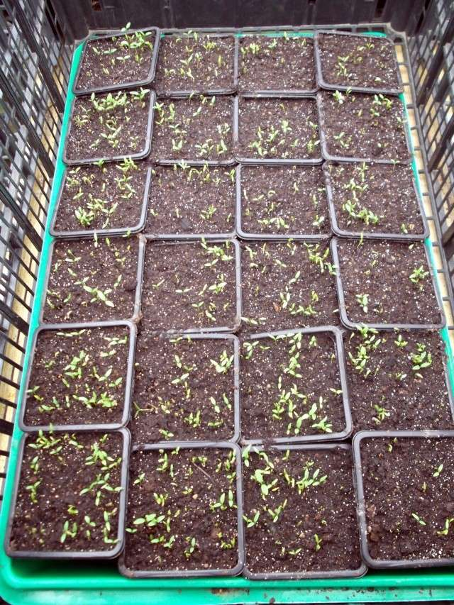 Persil semis - Quand repiquer le persil ...
