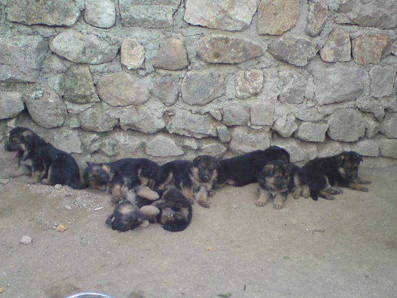 Chiots berger allemand lof des monts eternels sont for Alimentation chien maison