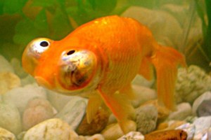 Le poisson rouge for Poisson rouge gros yeux