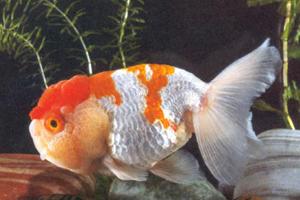 Le poisson rouge for Achat poisson rouge japonais