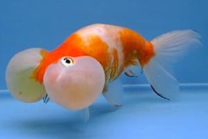 Le poisson rouge for Prix poisson rouge tete de lion