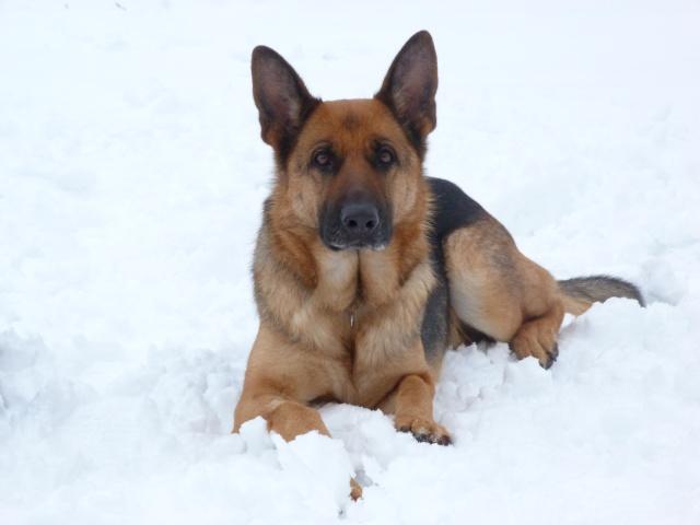berger allemand dans la neige