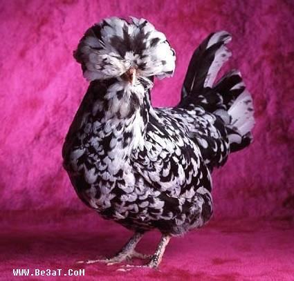دجاج بأشكال ألوان عجيبة