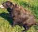 ATHENA (femelle Labrador de 3 ANS)