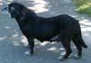FIONA-DOUDOU (femelle croisée Labrador de 10 ANS)