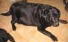 YSELINDE (femelle Labrador de 12 ANS)