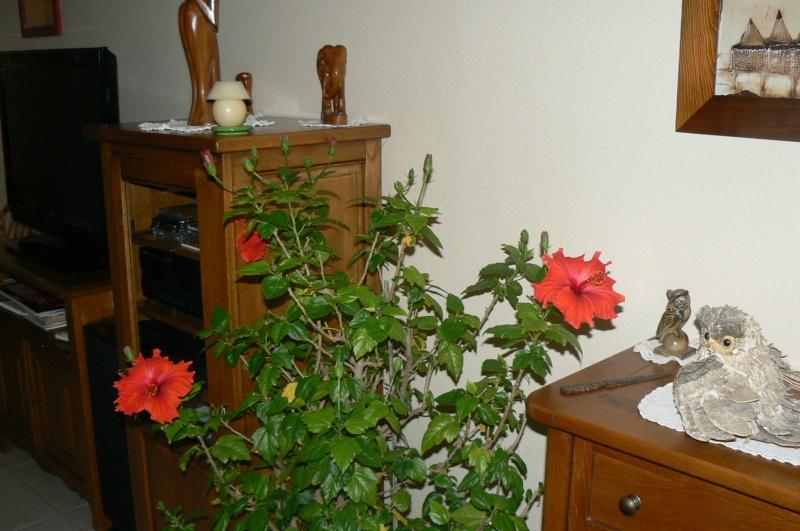 hibiscus d 39 int rieur ou de veranda. Black Bedroom Furniture Sets. Home Design Ideas