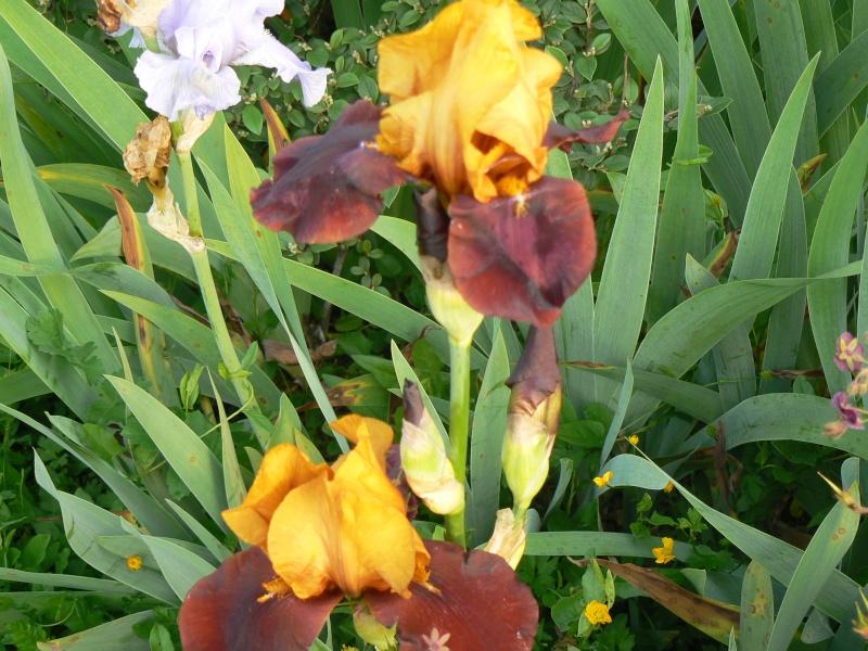 iris, rien que des iris. - page 16 - au jardin, forum de jardinage