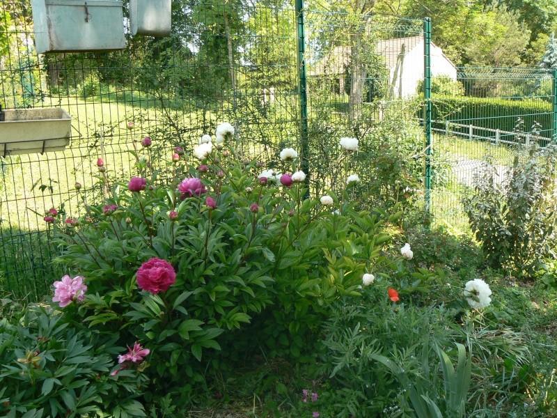 Tout sur les pivoines au jardin forum de jardinage for Tout sur le jardinage