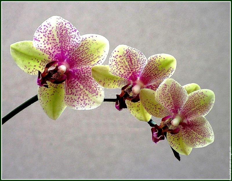 Plante fleurie l 39 orchid e la reine des fleurs - Entretien de l orchidee ...