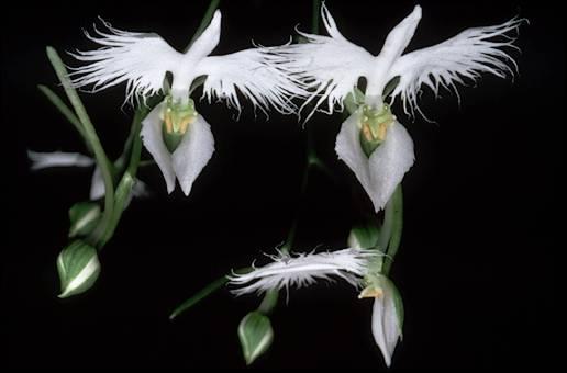 http://i41.servimg.com/u/f41/13/41/38/88/orchid13.jpg
