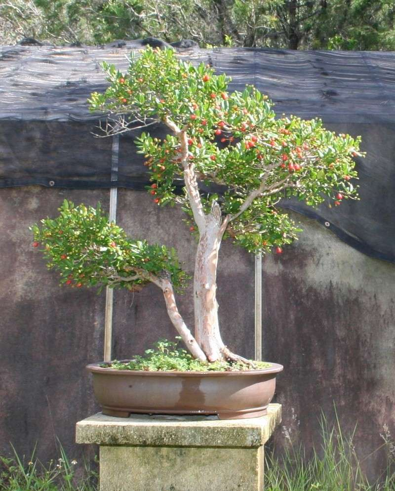 543 Best Bonsai Tree Basics With Exles Images On Dragon Nursery 2018
