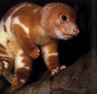 Chine nouvelle espèce Nouvelle Guinée couscous tacheté Spilocuscus maculatus Australie galago primate bush baby septembre 2011 forum animal inconnu Wenling zoo galago