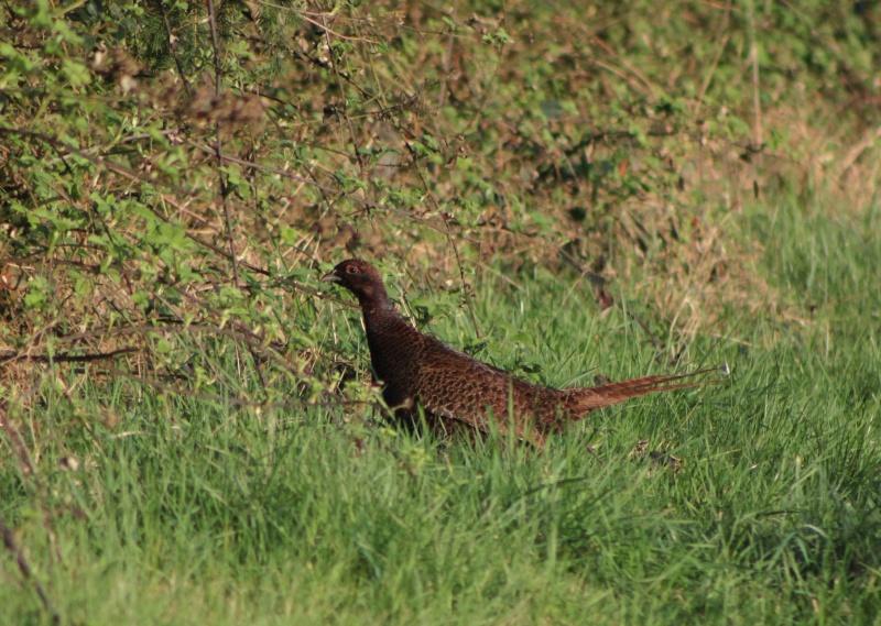Vol de faisan au dessus d 39 un nid de coucou page 3 - Cuisiner une poule faisane ...