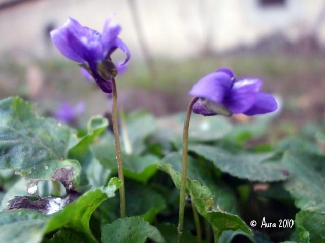 Les violettes africaines violettes du cap saint paulia for Violette africane