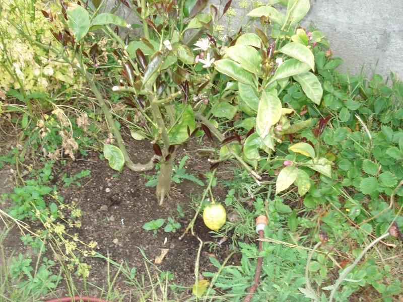Quelques jeunes pousses - Quand tailler les citronniers ...