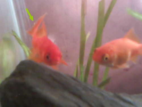 Bouton blanc sur un poisson rouge for Poisson rouge artificiel