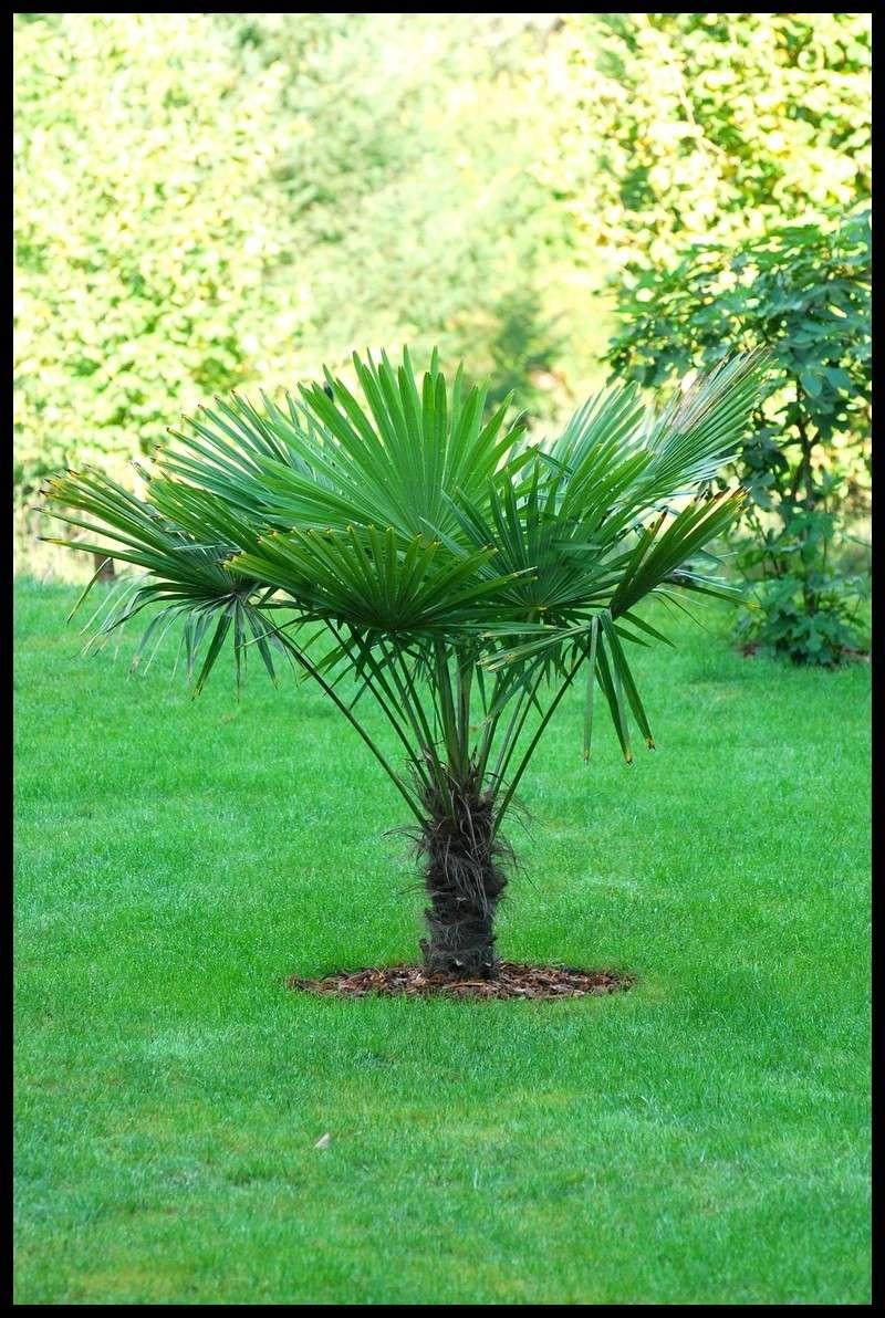 planter un trachycarpus fortunei