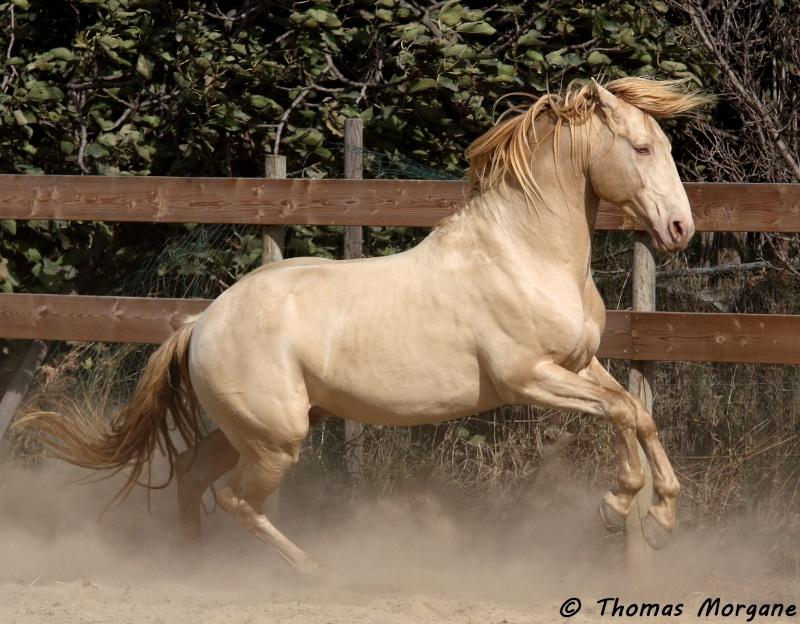 cheval espagnol creme