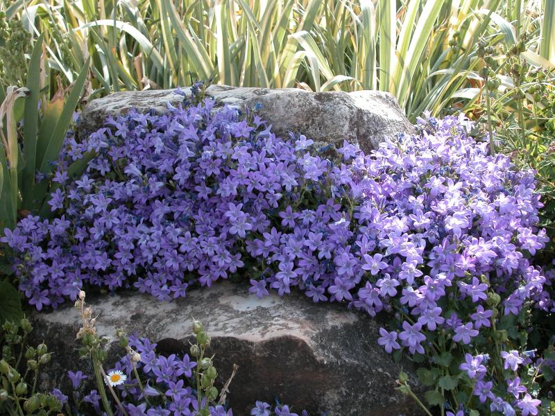 Campanula portenschliagana et aubrieta deltoidea for Arbuste persistant ombre le havre