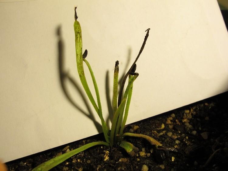 plante carnivore qui noircit