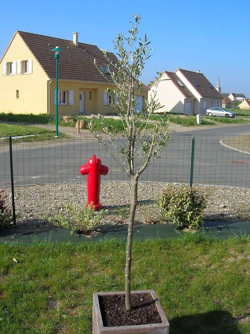 Olivier en pleine terre - Planter un olivier en pleine terre ...