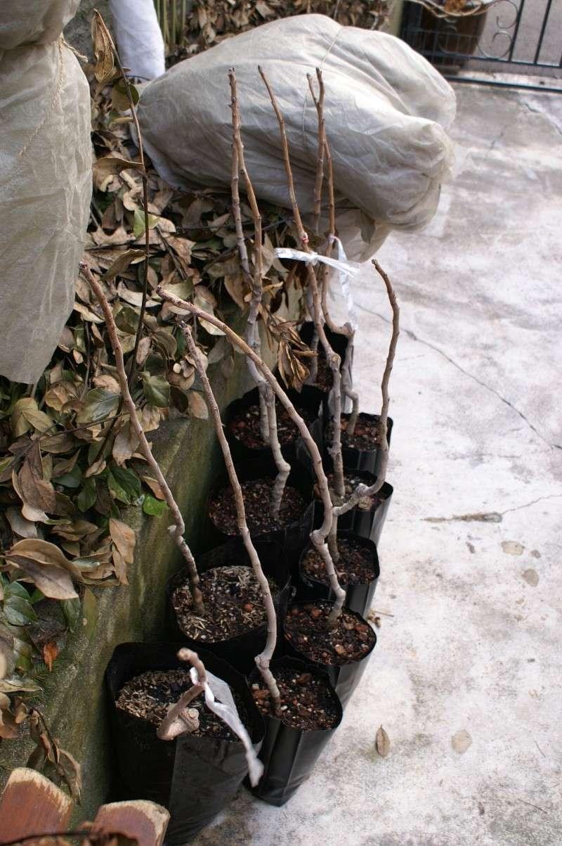 Pistachiers for Plantes par correspondance