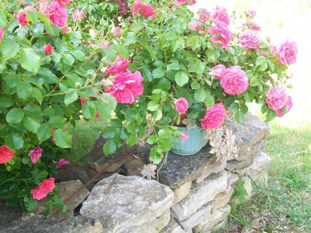quel est le nom de ce rosier rosier leonard de vinci. Black Bedroom Furniture Sets. Home Design Ideas
