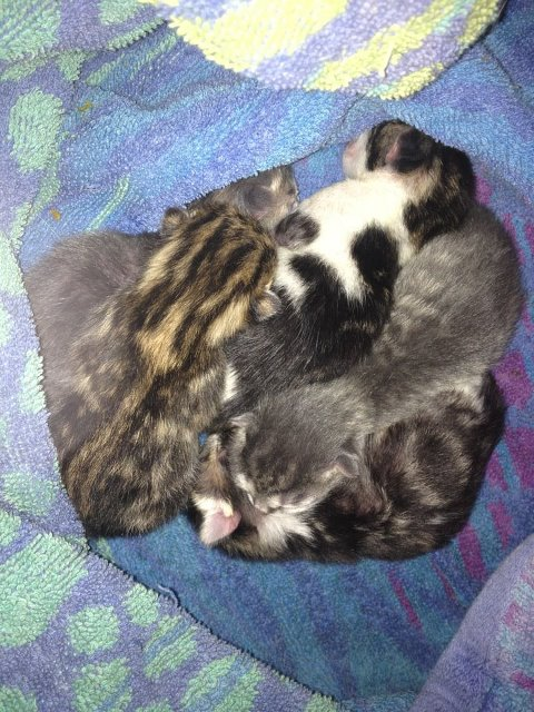chatons sans meres risque de mourir cherche biberoneuse ou maman allaitante 77. Black Bedroom Furniture Sets. Home Design Ideas