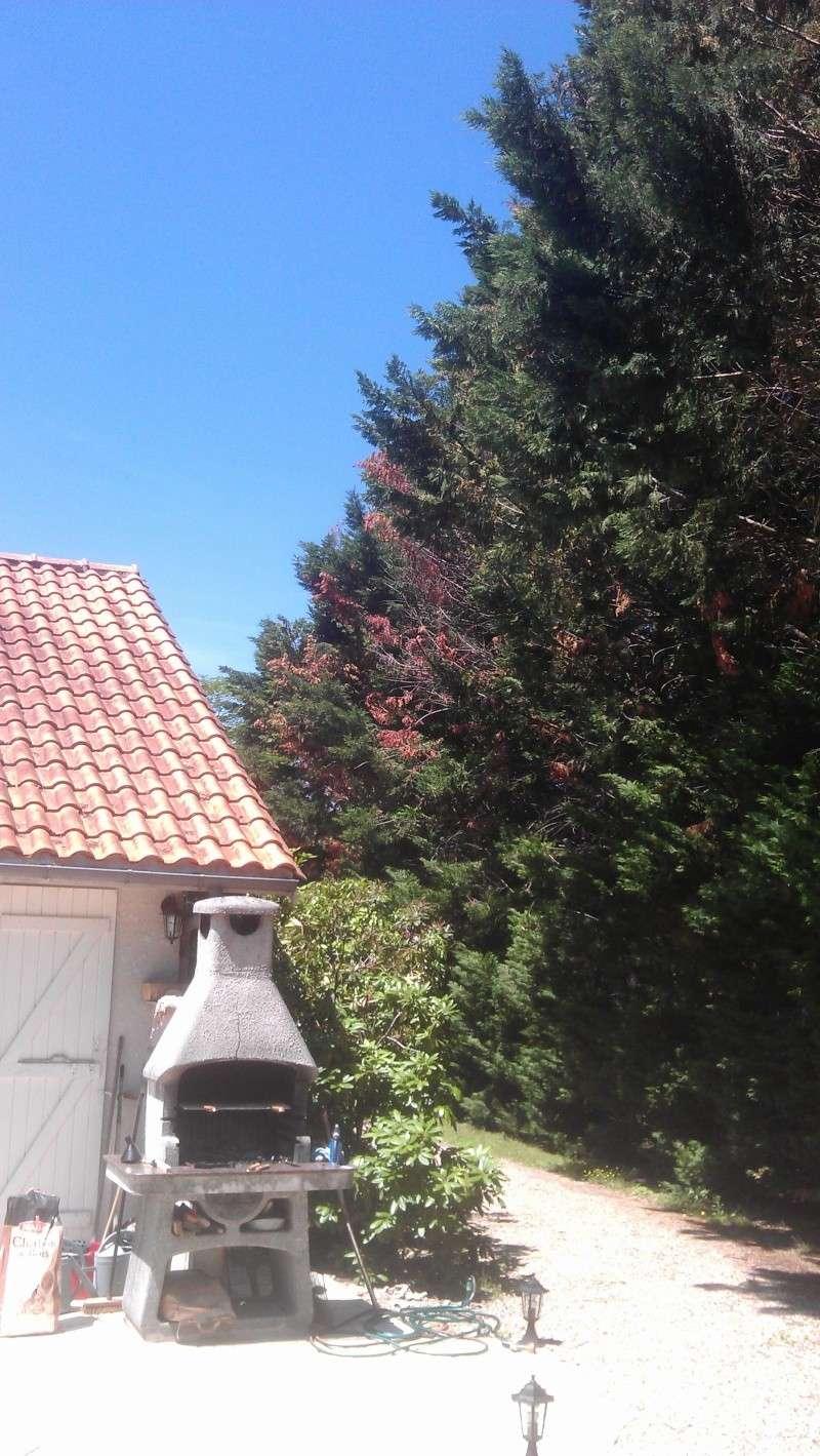 cyprès dont les branches jaunissent, roussissent et sèchent - au