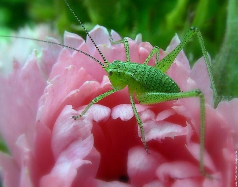 Sauterelle verte mange bouton de rosier au jardin - Rosier mange par des chenilles ...