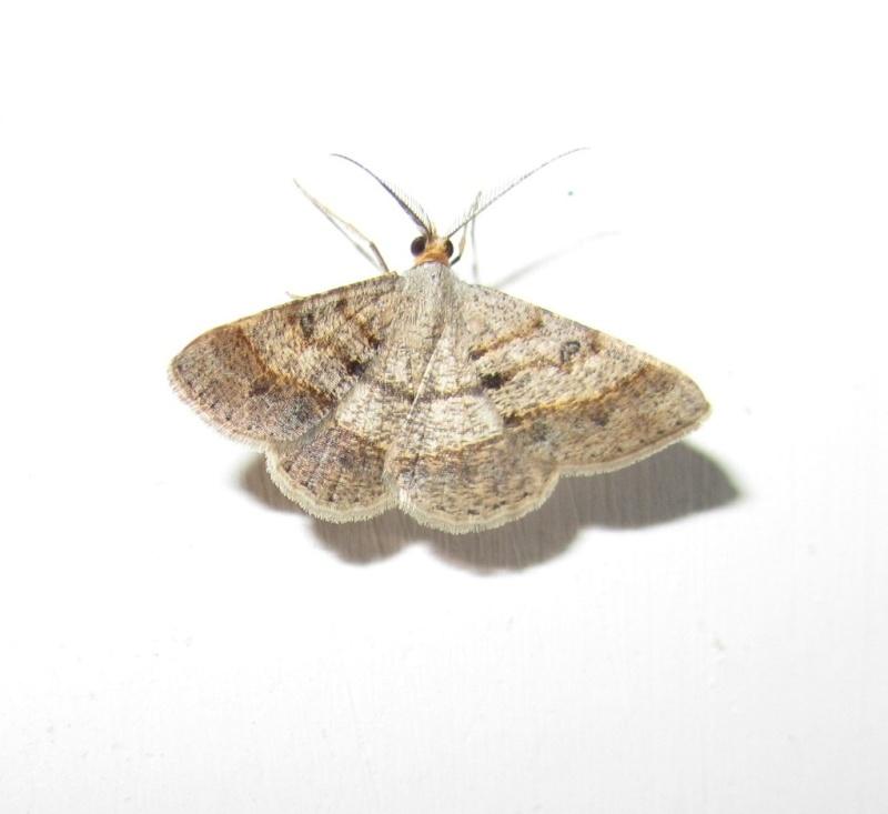 Isturgia sp petit papillon de nuit le monde des insectes - Signification papillon de nuit ...